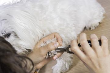 Cortando uñas a bichón maltés.
