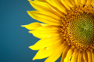 Sunflower on blue background.