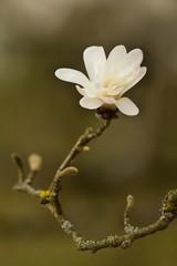 Erblühende Stern-Magnolie / Blooming star Magnolia
