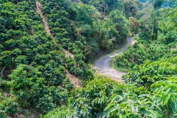 Road through coffee plantantions near Manizales, Colombia
