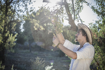 Olive grower working in olive grove, Cagliari, Sardinia, Italy