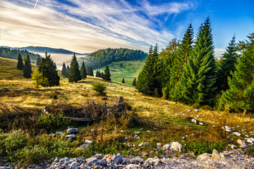 coniferous forest on a hillside in foggy mountains