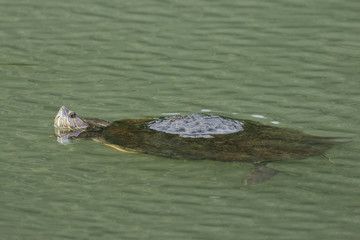 Panamanian Slider Floating in the Chagres River - Panama