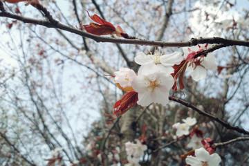 Cherry flowers in bloom. Aged photo. Flowers bloom in spring season. Sakura Blossom Time. Blossoming cherry flowers in spring. Retro filter photo. Sakura blooming. Vintage effect.