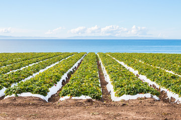 Pacific Strawberry Field.  A strawberry field overlooking the Pacific ocean near Santa Barbara, California.
