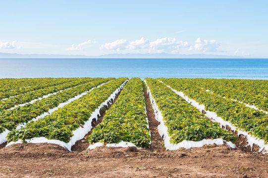 Pacific Strawberry Field.  A strawberry field overlooking the Pacific ocean near Santa Barbara, California.
