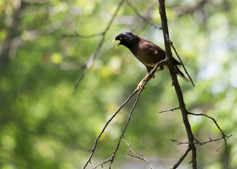 Indian starling on tree in nature