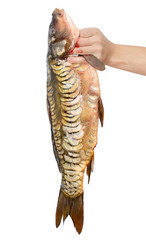 Carp in hand on a white background