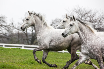 White horses galloping in a field.