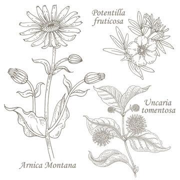 Illustration of medical herbs arnica, potentilla, uncaria.