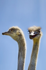 Ostrich Bird