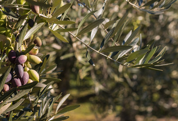 closeup of olive tree with ripe olives
