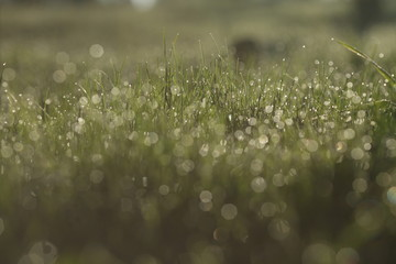 Macro close up of fresh spring grass with early morning dew – raw picture with original colors and blur bokeh