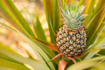 Pineapples fruit raw ,organic nutrition farm plant