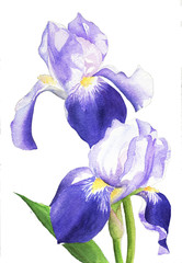 watercolor painting illustration purple isolated iris flower plant