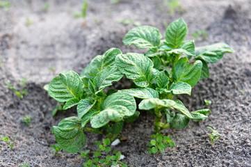 Uprawa młodych ziemniaków