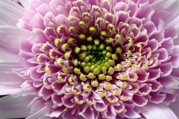 Fototapete - Macro of yellow flower aster