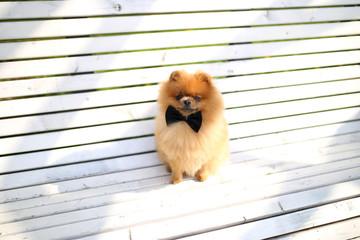 Pomeranian dog on the white bench. Beautiful dog.