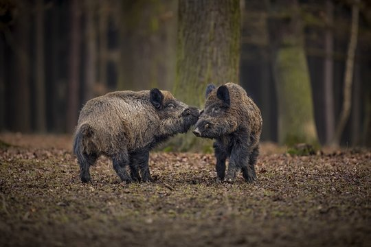 Wild boars fight in the forest/Wild boars fight in the forest
