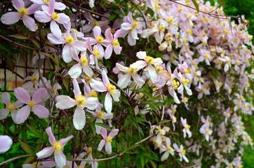 pink clematis climbing on garden gate