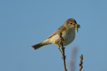 Aluminium Prints Grocery Willow Warbler with food in its beak