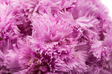 purple carnation