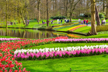 Colorful tulips and hyacinth flowerbeds in spring garden, Holland