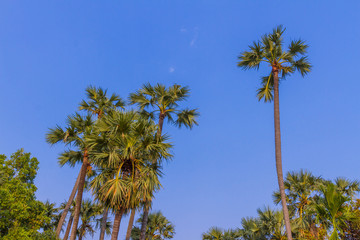 Sugar palm tree with blue sky