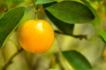 Fresh orange on orange tree.