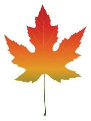 Isolated maple leaf