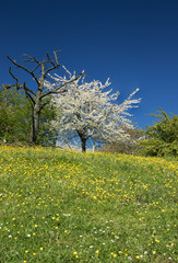Dead and blossoming pear tree on a hill crest