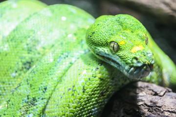 Green Python, snake