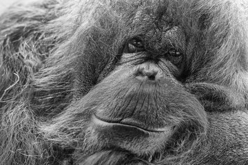 orangutan monkey close up portrait