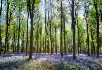 Fond de hotte en verre imprimé Bestsellers Bluebells in Wepham Woods