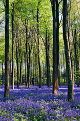 Poster Forets Bluebells in Wepham Woods