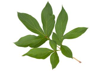 Peony flower leaf on white