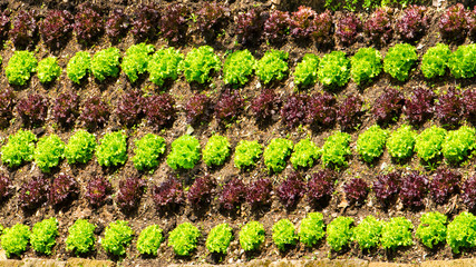 Bio Salat - angebaut im Klostergarten