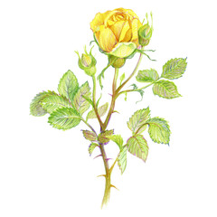 Flower yellow rose with buds and leaves on a white background. Drawing by hand. Vintage Colour pencils sketch.