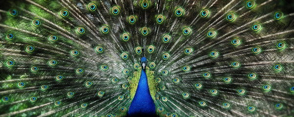 Foto op Canvas Pauw Portrait of beautiful peacock with feathers out