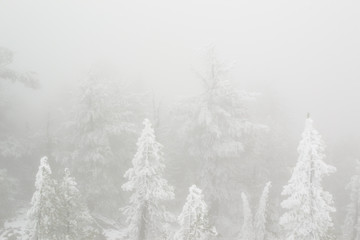 Trees in a winter fog
