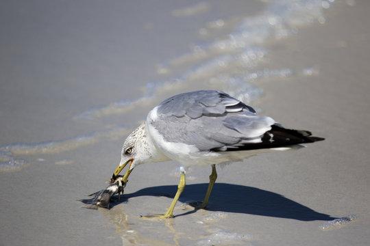 A Ring billed Gull (Larus delawarensis) holding an Atlantic Spadefish on a Gulf Coast beach.