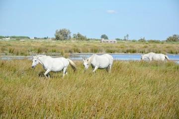 3 chevaux camarguais dans la nature camarguaise