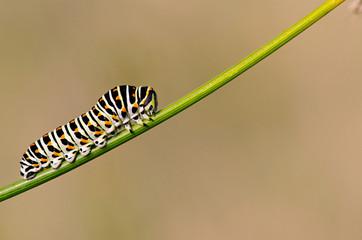 Caterpillar of Swallowtail. Papilio swallowtail, Saint-Ambroix