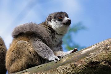 Young Ring-Tailed Lemur (Lemur catta)