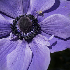 Blue Anenome Flower with Crab Spider