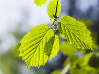 Leaves of Hazelnut tree, Corylus, in sunlight with bokeh background, selective focus, shallow DOF