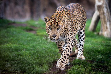 Leopard in front walking