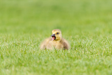 Gosling in the Grass - A newborn Canada Goose