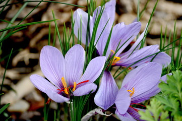 saffran flowers, crocus