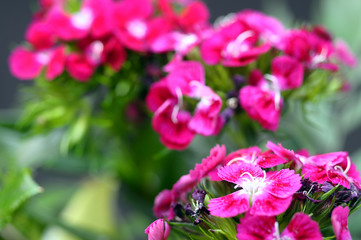 Fototapete - Pink flowers and green foliage